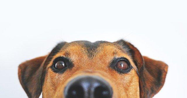 Le Canicross est une discipline qui consiste à courir avec un chien. Pour ce faure, vous êtes attaché au chien à la taille