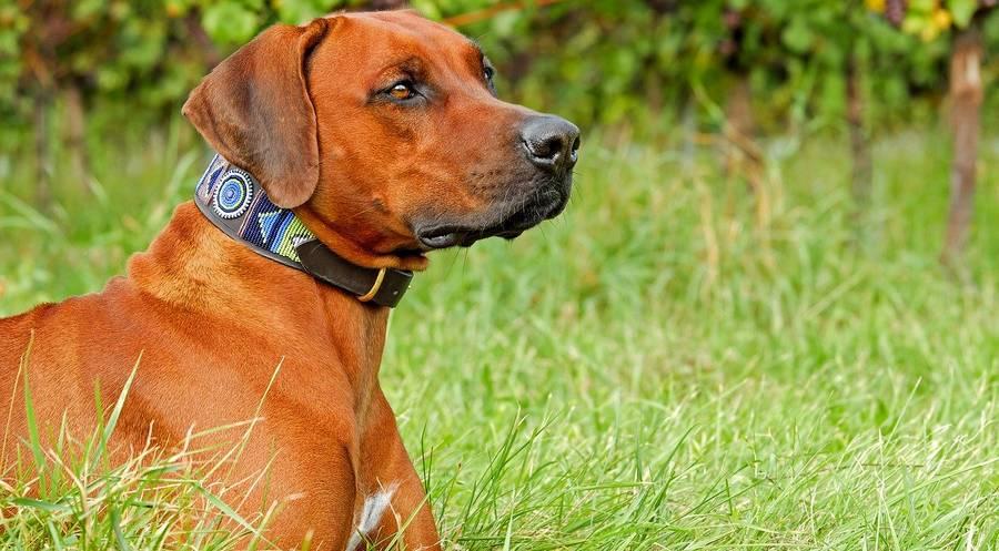 Dans cet article nous allons expliquer le collier pour un chien. À quoi ça sert? Comment le choisir? Quels sont ses avantages et ses inconvénients?